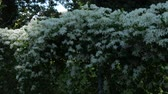 gardens : Steady shot of a hedge of small white flowers swaying in the breeze on a fence.