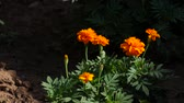 fújás : Bright orange flowers swaying gently in the breeze, with dark background Stock mozgókép