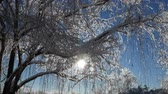 gleccser : Streaks of sunlight streaming through snow and ice-covered twigs, upward shot