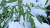 gleccser : Steady medium close up shot of bamboo leaves with freshly fallen snow