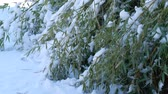 gleccser : Steady shot of bamboo leaves bent to the ground and covered with snow