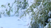 gleccser : Steady shot of fresh fallen snow covering a patch of bamboo leaves
