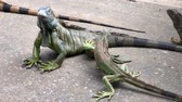 drago : Handheld downward shot of iguanas in the ground Filmati Stock