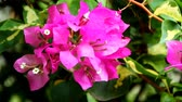 floristic : Paper flowers or bougainvillea are popular ornamental plants.  Its beauty comes from the sheath of brightly colored flowers and attracts attention because it grows with lush Stock Footage