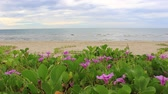 ipomoea : Beach Morning Glory leaves in wind Ipomoea pes-caprae Stock Footage