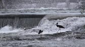 Storks fishing in the spillway of the dam overflowing