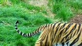 тигр : Close up of male adult tiger playing on the grass with his two cubs Стоковые видеозаписи