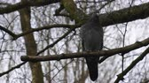 winter tree : Common pigeon sitting on a tree branch