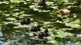 кряква : Small mallard ducklings resting on the pond algae in sunshine