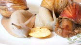 sümüksü : Three different species of giant African land snails feeding on piece of apple fruit Stok Video