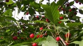 kamera : Handheld camera moving through the cherry tree branches full of red cherries