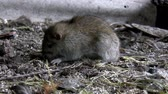 szczur : Rat eating something on  a filthy soil