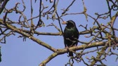 empoleirado : Close up of adult starling bird perched on a tree branch and grooming itself on a sunny day in early spring