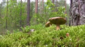 грибы : Man in the pine forest cutting boletus mushrooms with knife
