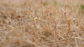 지구 온난화 : Dried grass abstract climate change background. Small insect crawling up and down the straw 무비클립
