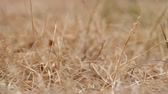 地球温暖化 : Close up of dry grass shivering in a breeze, abstract drought background 動画素材