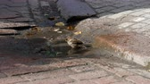 godo : One sparrow bird is washing itself in the city cobblestone street puddle on the sunny day