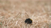dead animal : Two ants exploring body of dead bumblebee on the dry grass