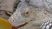 jaszczurka : Extreme close up of head and mouth of iguana lizard eating vegetable leaf