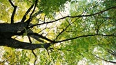 青々とした : Rotating Background Low Angle Shot of of a Big Maple Tree with Yellow and Green Leaves in Autumn