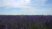 Lavender fields Flowers swing in the wind. Plantations of lavender A field blue sky and clouds Beautiful views of nature