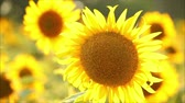 perfection : sunflowers, shallow depth of field