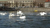 esplêndido : Splendid view on several swans trying to take off from the sparkling surface of the Vltava river in Prague in a sunny day in summer in slow motion.