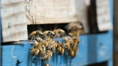 laborious : Heartbreaking macro shot of laborious bees entering the hive hole and bringing honey to their honeycombs. They look busy, funny and shaggy, while moving on a metal mounting in a sunny day in summer Stock Footage