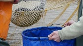 hauling : An impressive view of river fish including pike, bream and perch, taken from a net and put in a big blue bag with the help of a scoopnet Stock Footage