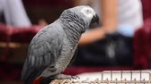 amerika papağanı : Congo African Grey Parrot singing on the street (Psittacus Erithacus Erithacus) Stok Video