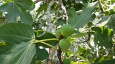 Fresh fig fruits on a branch of fig tree.