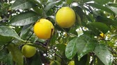 Orange tree under rain, closeup. Stock Footage