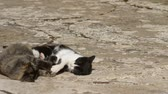 bellissimo : A small tortoise-scale kitten and a black and white one playing to make the fight