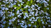 ne : FullHD video of field with forget-me-not flowers