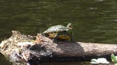 пловец : A Common Cooter (Pseudemys,Floridana) sits on a log and soaks up the sun Стоковые видеозаписи