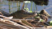 dişler : A Little American Alligator suns itself on shore. Stok Video