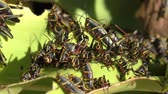 A Massive Amount of Lubber Grasshopper Nymphs (Romalea,Microtera) feeding on plant.