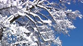полярный : Snow gently falls off the branches of a tall tree on a sunny winter day.