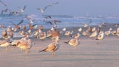 kovalamak : A dog chases away a flock of seagulls on the beach.  In 4K UltraHD.