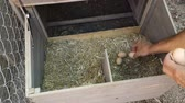 animal egg : A farmer reaches in and collects eggs from the chicken coop.