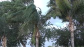 Palm trees blow in the wind during a big summer storm. Stock Footage