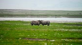 white lipped : Black Rhinoceros or Diceros bicornis Stock Footage