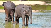 elephas maximus : Elephant calfs bathing in river Stock Footage