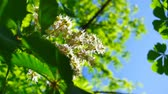lipa : Fresh young green chestnut bloom bright sun light, close up shot.