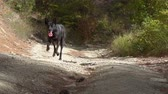 engedelmes : Young black malinois dog in the forest. Belgian Shepherd. Slow motion.