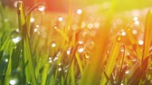 waterdrop : Grass with morning dew drops. Closeup shot with soft focus. Abstract background