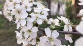 yards : Cherry blossom swaying in wind
