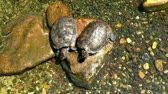 pair of turtles resting on a rock in a river Stock Footage