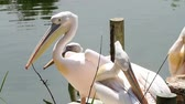 Group of pelicans resting in the sun Stock Footage