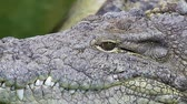 Dangerous crocodile lounging by a river of green water, rough skin detail Stock Footage